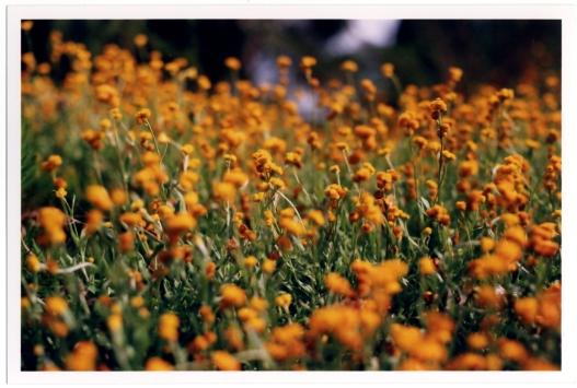Yellow flower in Australia.
