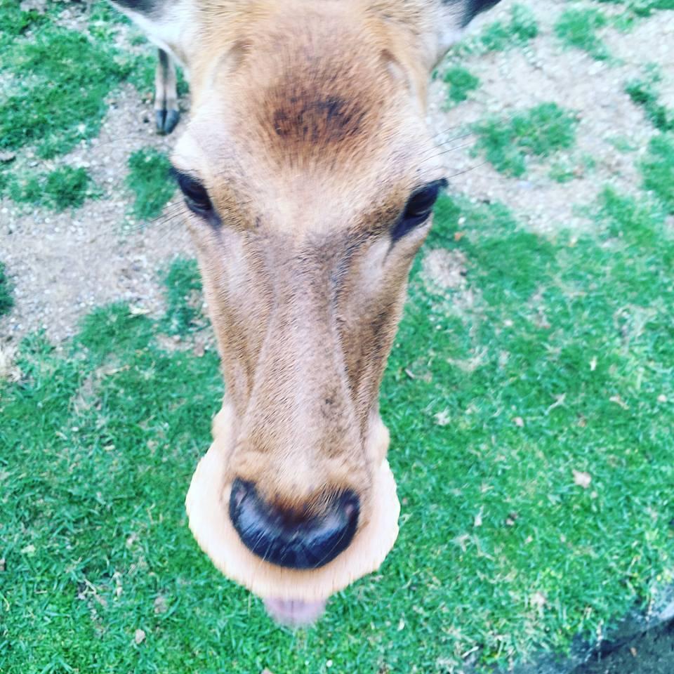 """[ 鹿の連載 ] 「鹿寄せ」の謎を解明!why deer gather to """"shikayose"""""""