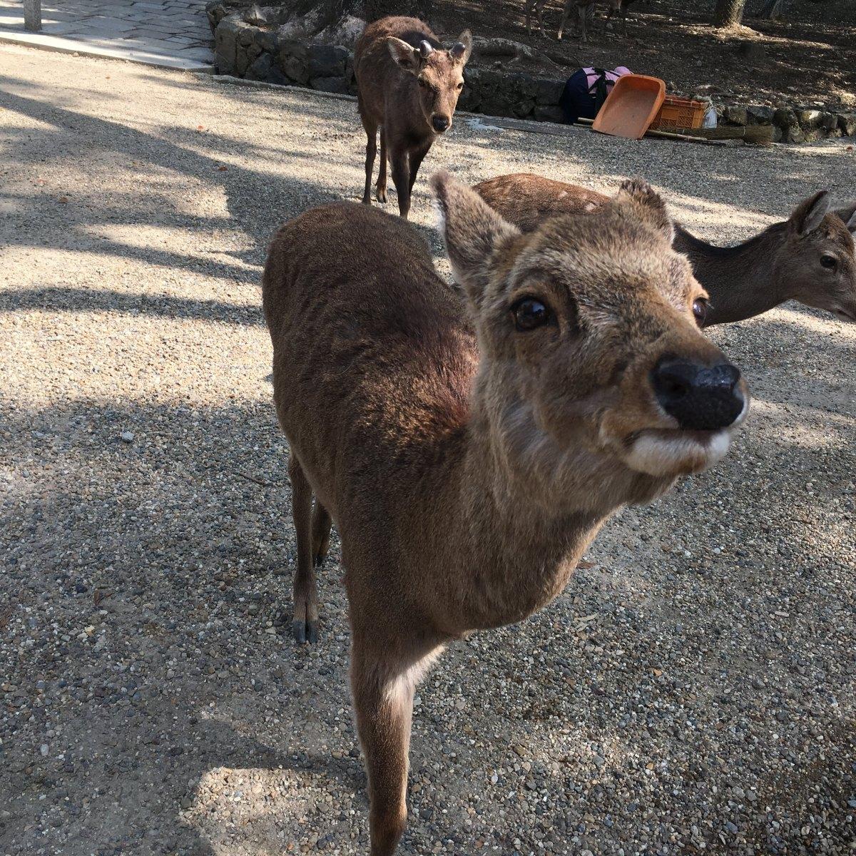 [ 鹿の連載 ] 鹿と修学旅行 ・Deer and schooltrip